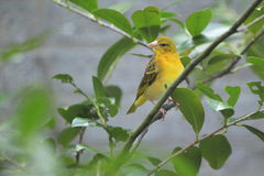 Village weaver Royalty Free Stock Photo