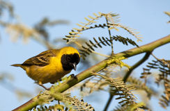 Village weaver. A colorful village weaver alighted on the branch of an acacia tree Royalty Free Stock Photo
