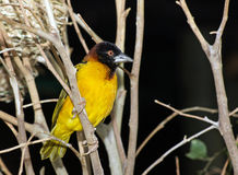 Village Weaver bird Stock Photography
