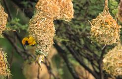 Weaver bird pair on their nest royalty free stock images