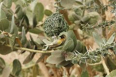 Village Weaver bird Ploceus cucullatus. A Village Weaver bird Ploceus cucullatus on his nest Royalty Free Stock Images