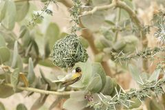 Village Weaver bird Ploceus cucullatus. A Village Weaver bird Ploceus cucullatus on his nest Royalty Free Stock Image