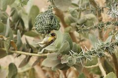 Village Weaver bird Ploceus cucullatus. A Village Weaver bird Ploceus cucullatus on his nest Royalty Free Stock Photography