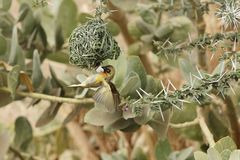 Village Weaver bird Ploceus cucullatus. A Village Weaver bird Ploceus cucullatus on his nest Stock Photography