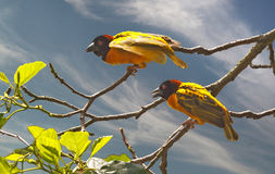 Village Weaver Birds. The Village Weaver Bird is a colourful native of Africa Royalty Free Stock Image