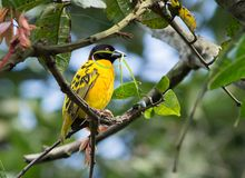 Village weaver Royalty Free Stock Photography