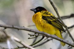 Village Weaver on branch Royalty Free Stock Photography