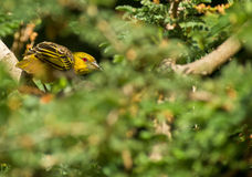 A Village Weaver in the green Stock Photography