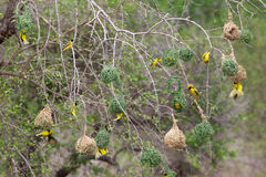 Village Weaver. The Village Weaver (Ploceus cucullatus), also known as the Spotted-backed Weaver or Black-headed Weaver, is a species of weaver bird found in Royalty Free Stock Photo