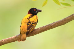 Village Weaver Royalty Free Stock Images