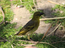 Village weaver Stock Image