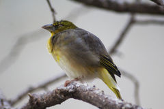 Village weaver stock photography