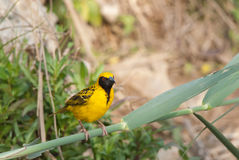 Village Weaver Royalty Free Stock Image