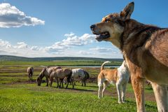 Herding dogs guarding a herd of horses grazing in the meadow under a cloudy sky in countryside royalty free stock image