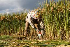 Village woman harvests fully grown grain in Yunnan stock images