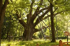 The village of Zagansk near the city of Kielce. Natural Monument - over 1000 years old, the oldest oak in Poland called Bartek stock image