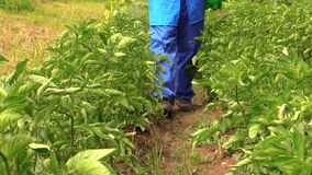 Villager farmer man in blue pants spray potato plants beds stock footage
