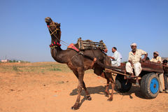 Villager with his camel participate in Pushkar Fair Stock Photography