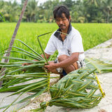 Villager sitting near the rice fields and weaving a basket out of palm leaves. Royalty Free Stock Photo