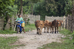 Villagers bring cows to the field. Royalty Free Stock Photography