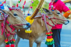 Villagers decorate the cow for the Songkran festival in Kanchana stock images