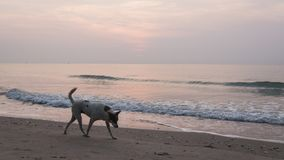 Dogs find food scraps on the beach left over from a group of tourists partying on the beach last night. Villagers dog walking in the morning at the beach royalty free stock image
