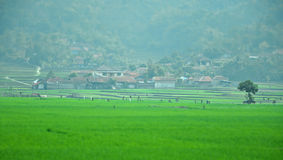 Villagers house across a paddy field in Ciwidey. Stock Photo