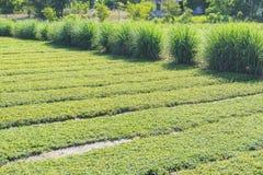 Villaggio di Tra Que, provincia di Quang Nam, Vietnam Immagine Stock Libera da Diritti
