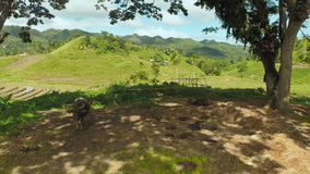 Villaggio filippino a distanza Buffalo che riposano sotto gli alberi archivi video