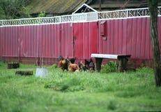 villaggio pollame pollo Immagine Stock