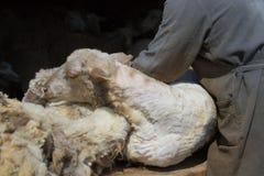 Villaggio siberiano disponibile di forbici di tosatura delle pecore Fotografia Stock Libera da Diritti