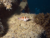 VillaHawkfish. Hawkfish sitting on wreck structure, Villa Vanuatu Royalty Free Stock Images