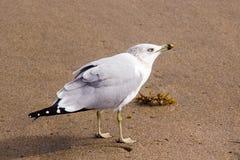 Villain seagull on the sand Stock Photography