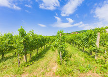 Villany grape fields. Grape fields on Hungarian hills from Villany against beautiful blue sky stock images