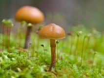 Ville 4 de champignon de couche Photographie stock libre de droits