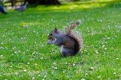 Ville/Angleterre de Londres : Écureuil gris de parc de St James mangeant l'arachide images libres de droits