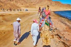 Villeggianti sul safari del cammello, Sinai, Egitto immagine stock