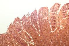 Villi dell'intestino tenue Fotografie Stock