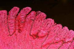 Villi dell'intestino tenue Immagine Stock