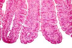 Villi dell'intestino tenue, micrografo leggero Fotografie Stock Libere da Diritti