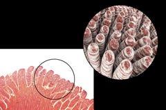 Villi do intestino delgado Foto de Stock