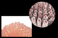Villi of small intestine Royalty Free Stock Images
