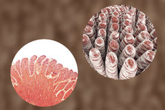 Villi of small intestine Stock Images