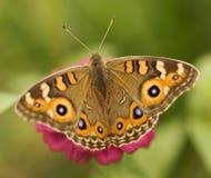 villida лужка junonia бабочки argus австралийское Стоковое Фото
