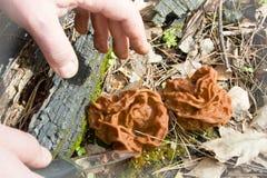 Villkorligt ätlig Gyromitra Morelchampinjon på naturbackgrouen Arkivfoto