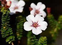 Villosa de Adenandra (flor) de China (flor de China) Imagen de archivo libre de regalías