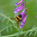 Villosa de la Vicia de la flor salvaje con el abejorro Imagen de archivo