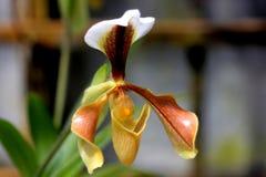 Villosum de Paphiopedilum, orchidée d'Inde du nord-est et la Chine photos stock