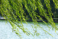 Villow leaves. Willow leaves in the wind Royalty Free Stock Images