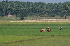 Backbreaking work in an Indian paddy field Stock Photos